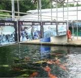 精选锦鲤 (香港鱼场)