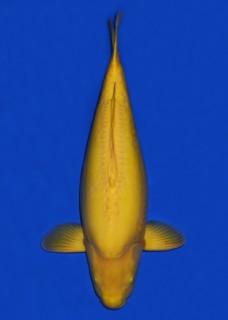 16年4月桃太郎拍卖鲤- 赤目介子鲤 四才 72cm 母 No.167
