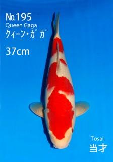 195 37cm-gaga(DG)