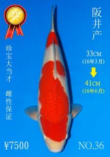 NO.36 4_DSC_0183-41cm