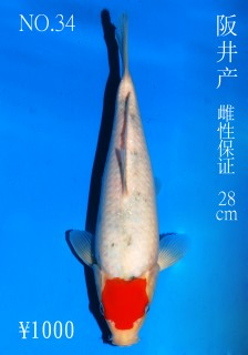 No.34 DSC_1130 28cm DSC_0281 28cm
