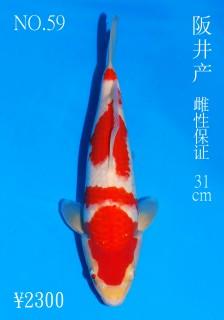 No.59 DSC_1135 31cm DSC_0365 31cm