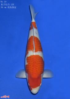 10Makokohaku2y59cm170207