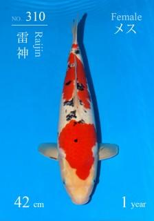 310 18w DSC_8247-42cm-Raijin