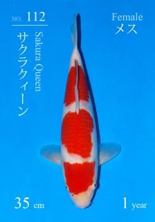 112DSC_0558-35cm-sakura