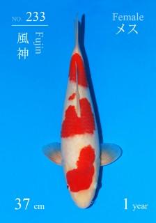 233DSC_0942-fujin-37cm