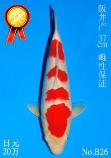 26 30w 37cm DSC_5793-B