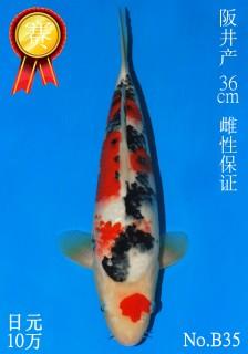 35 15w 36cm DSC_4762-B