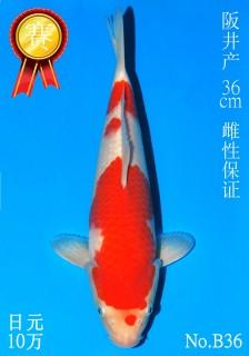36 10w 36cm DSC_4308-B