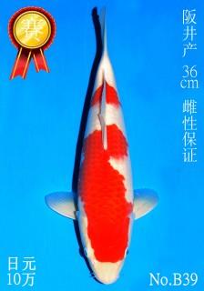 39 12w 36cm DSC_5767-B