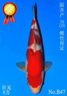 47 10w 38cm DSC_4382-B