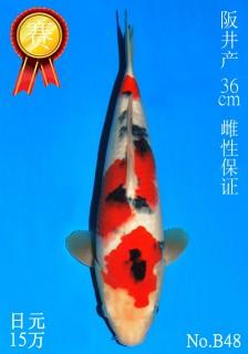48 20w 36cm DSC_6126-B