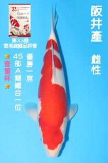 45CM 阪井紅白_雌性 N8640 IMG_7362-獎