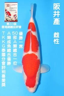 50CM 阪井紅白_雌性 N8640 IMG_7397-獎
