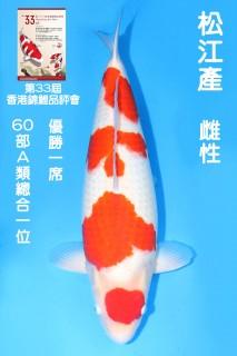 60CM 松江紅白_雌性 n7440  IMG_7440-獎