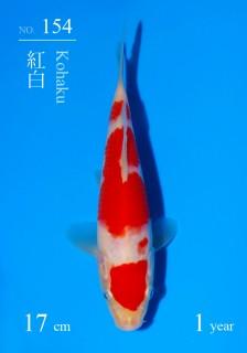 154DSC_4248-17cm-18Kohaku-2H9U-