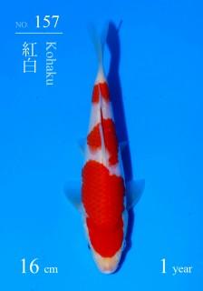 157DSC_4303-16cm-18Kohaku