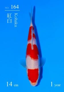 164DSC_4157-14cm-18Kohaku-2H9U