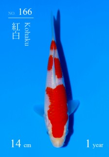 166DSC_4456-14cm-18Kohaku-2H9U