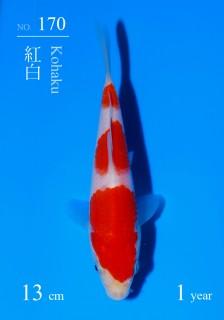 170DSC_4429-13cm-18Kohaku