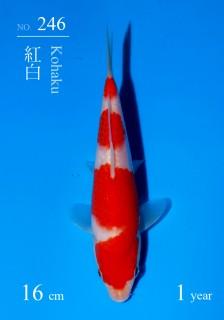 246DSC_4909-16cm-18Kohaku