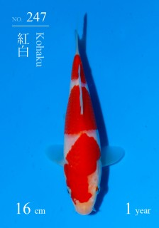 247DSC_5066-16cm-18Kohaku