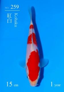 259DSC_5641-15cm-18Kohaku