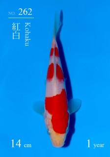 262DSC_4976-14cm-18Kohaku