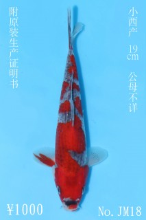 JM18_1000 19cm小西五色IMG_5704