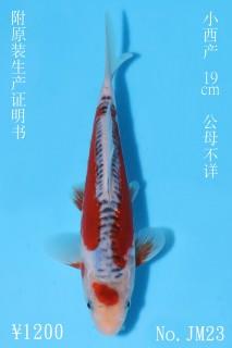 JM23_1200 19cm小西秋翠IMG_5626