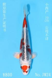 JM24_800 19cm小西孔雀IMG_5580