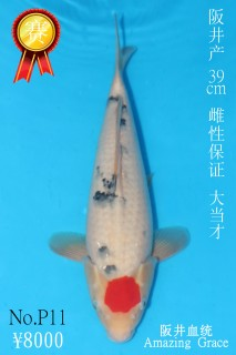 P11 8000 39cm阪井丹頂三色大當才雌性 IMG_0583