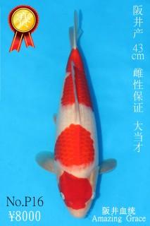 P16 8000 43cm阪井紅白大當才雌性 IMG_0337