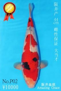 P2 10000 44cm阪井大正大當才雌性 IMG_0595