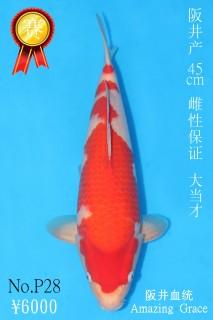 P28 6000 45cm阪井紅白大當才雌性 IMG_0289