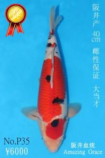 P35 6000 40cm阪井大正大當才雌性 IMG_0667