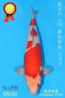 P9 8000 45cm阪井紅白大當才雌性 IMG_0394