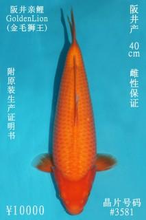 10000 阪井介子40cm  母魚 3581 no.1000 IMG_1375_1