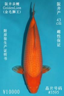 10000 阪井介子43cm  母魚 3595 no.1000 IMG_1419_1