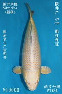 10000 阪井銀狐47cm  母魚 3584 no.1300 IMG_1028_1