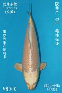 8000 阪井銀狐42cm  母魚 3585 no.1300 IMG_1249_1