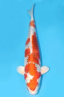 54cmAnet孔雀二才雌性 0185