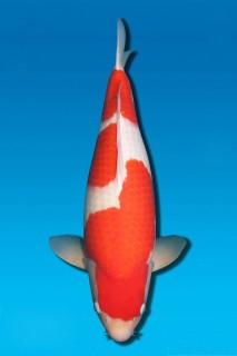 12-17早晚:d1池,阪井产三才雌性65cm,20000