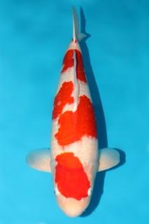 尾形产三才雌性63cm特