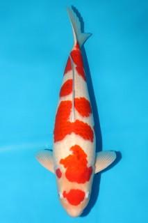 尾形产三才雌性63cm (2)