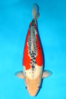 尾形产三才雌性57cm,售价12000