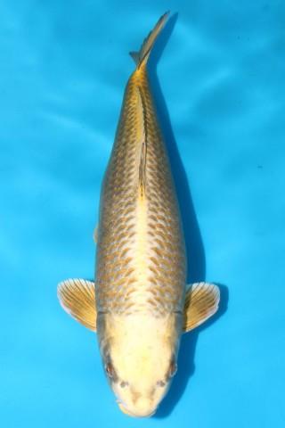 尾形产三才雌性72cm,售价12000元