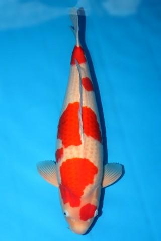 FJ109 售价23000 松江产红白三才雌性69cm