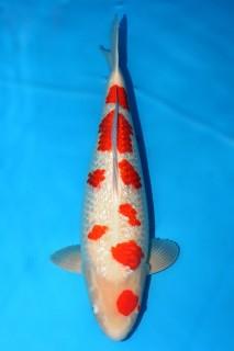 FJ112 售价18000 桃太郎产银鳞红白三才雌性66cm