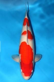 FJ113 售价15000 松江产红白三才雌性69cm